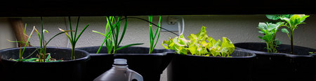 January 4, 2015:  Onion, garlic, lettuce, potato...growing because of light, water, nutrients...while indoors in buckets.  Growth happens anywhere, given the conditions for it.  Grow anywhere.  Everywhere.  Still...life.