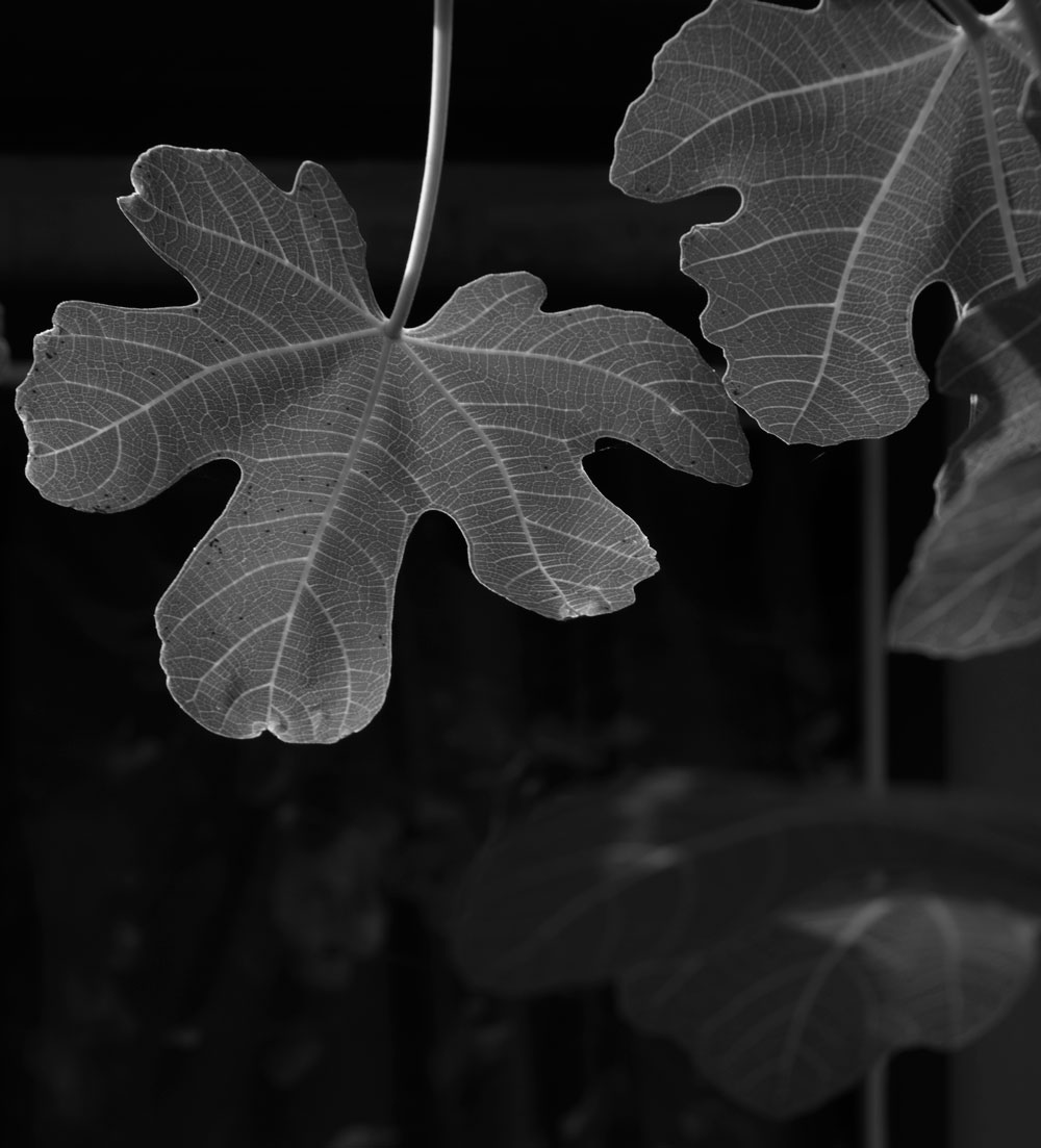 June 8, 2015:  The sunlight penetrated the fig leaf, pulling it out of the shadows.  Come out of the shadows with the clarity of light.  Still...life.