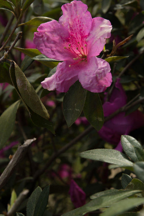 March 16   When I first became serious about photography at 16, I would prowl behind my mom's azaleas to photograph their colors and textures as the light shown through them.  The flowers -- their colors and textures -- and the memories remain beautiful to me.