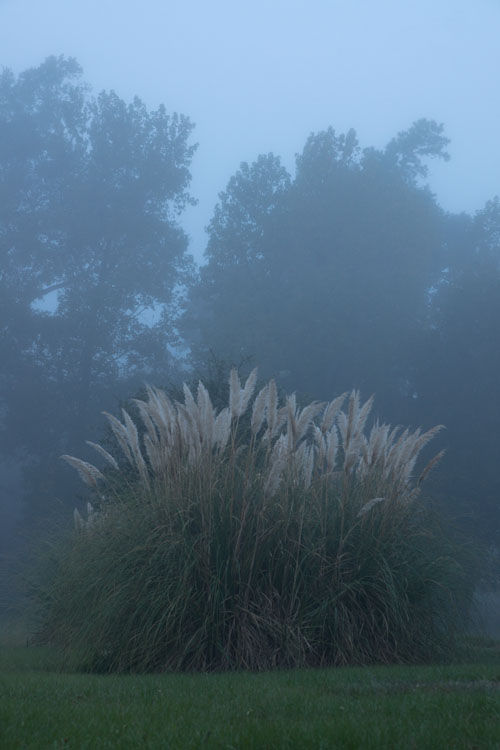 November 5  Another beautiful, foggy morning making the pampas grass stand out in shape and colors from the trees in the background. I wasn't walking their direction until I saw them and then I couldn't resist.