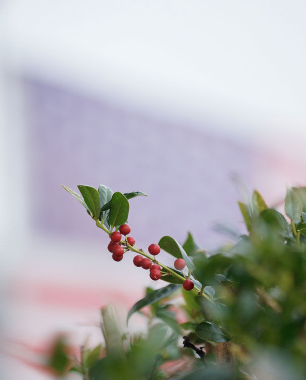 "December 28   Holly berries stand out against the flag whipping in the wind. Makes me think of our military and the song ""I'll Be Home For Christmas."""