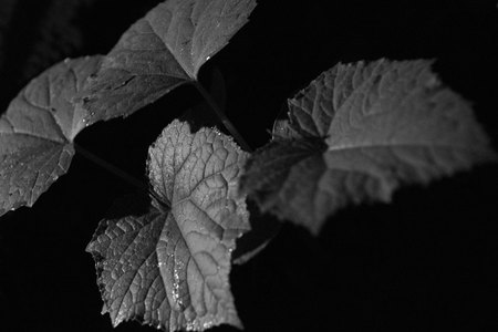 May 17, 2015:  Day passing too fast.  This project requires a photo.  Go!  See!  Create!  The textures and forms of young cucumber leaves lit by a low-wattage outdoor light fits the bill.  Take action to see, to create.  Still...life.