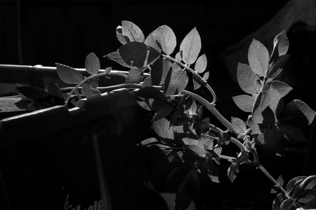 October 2, 2015:  In the morning light, even this recycled recycling bin and potato plant appear beautiful.  Changing perspectives and seeing in new light works for more than potato plants, too.  Still...life.