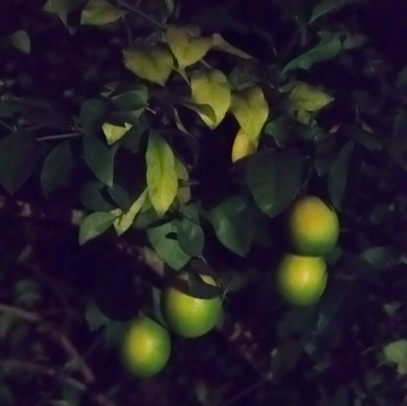 October 7, 2015:  These lemons have appeared several times in this project over the year...beginning with the little blooms.  It is about time now to harvest.  With patience, harvest always comes in one way or another.  Still...life.