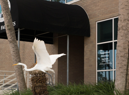 November 4, 2015:  The egret spreads its wings outside my office.  I left a cozy 27-year career to try to offer this experience of spreading one's wings.  The calling continues.  Still...life.
