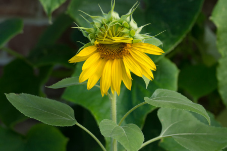 July 5   I've never seen shyness look as cute and beautiful as this coy sunflower.