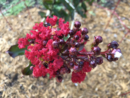 July 28  No timid pink this crape myrtle.  Not long after planting, it boldly proclaims its rich, beautiful colors.